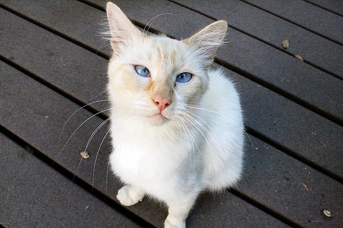 Are All Siamese Cats Cross Eyed