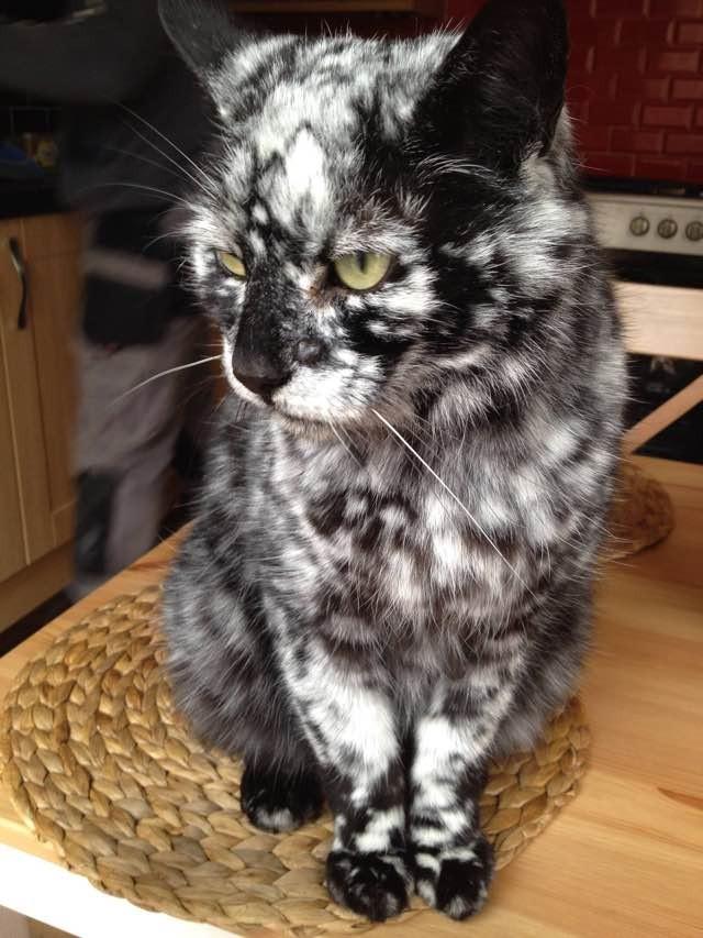 Картинки по запросу Scrappy Born a Black Cat Now Turning White due to Vitiligo