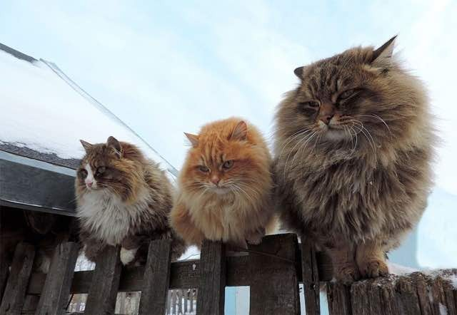 Every Winter These Siberian Cats Fluff Up And Play In Snow