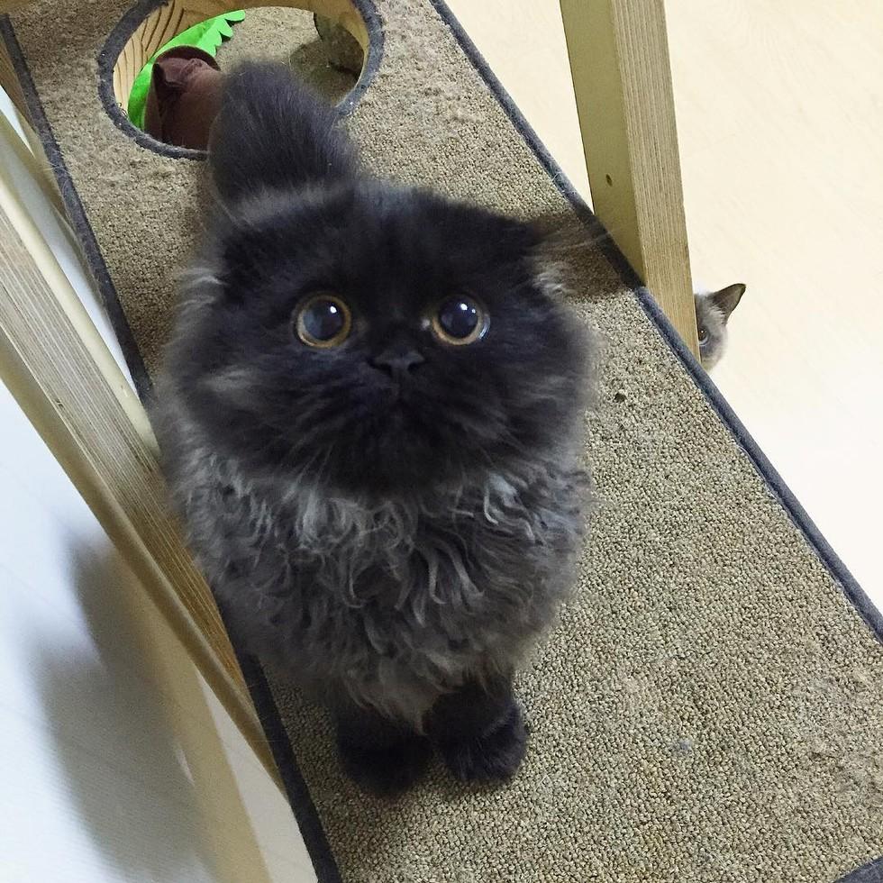 fluffy kitten big eyes owl cat
