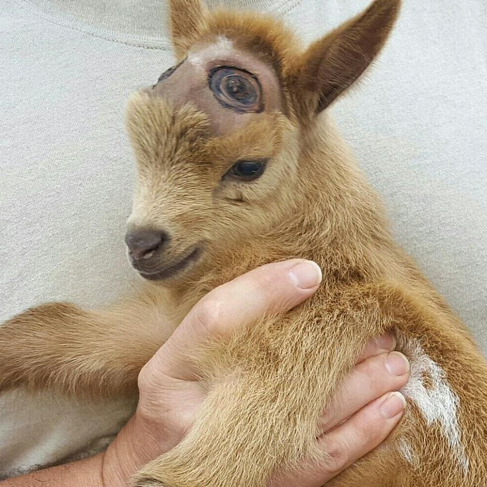 How to Care for Baby Goats forecasting