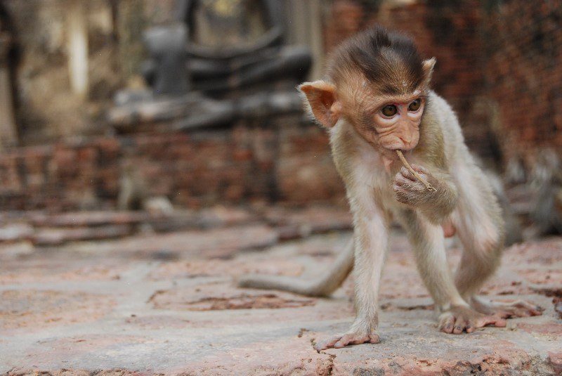 Monkey at Phra Prang Sam Yot, a monkey temple that is located in Lopburi.