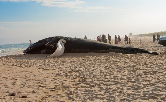 why do whales beach themselves A: whales and dolphins beach themselves, or end up beached, for reasons ranging from injury and illness to polluted water and simply becoming stranded at low tide when these creatures travel in pods, the entire pod is likely to end up beached if the leader accidentally strands itself on shore, explains mental floss.