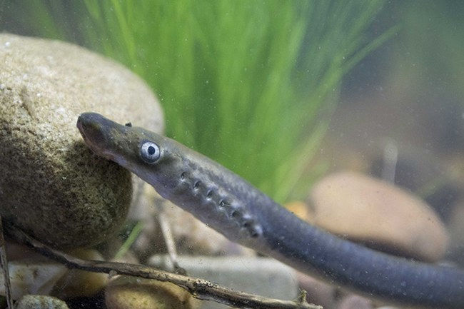 Lampreys Aren T Dangerous Except For That One Time They Killed A