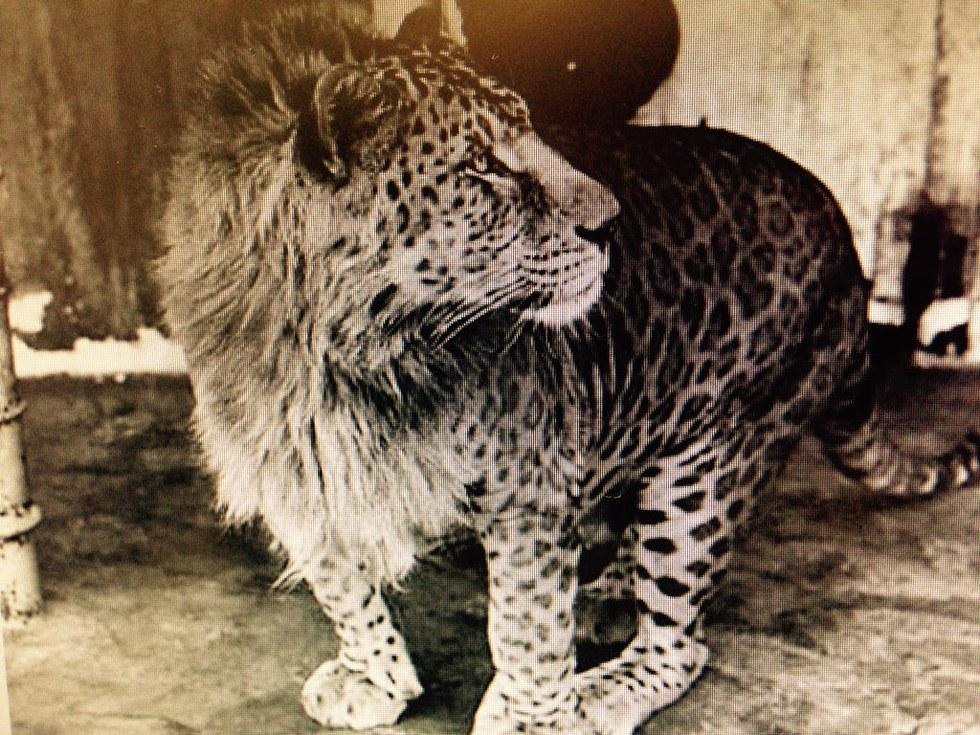 Leopard tiger hybrid