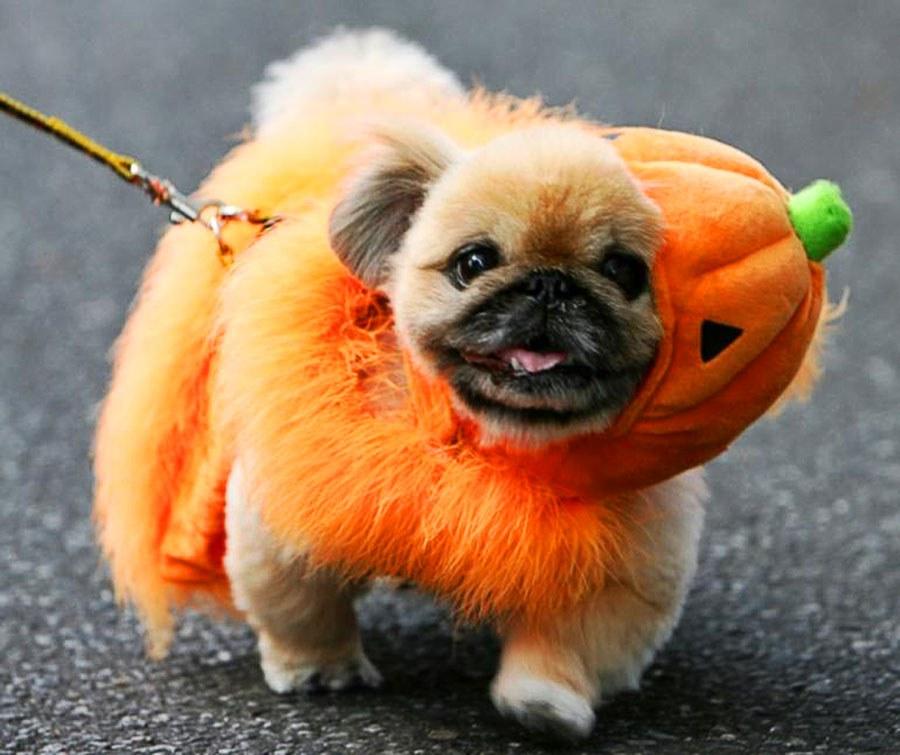 The Pumpkin Pug & Awesome Halloween Dog Costumes