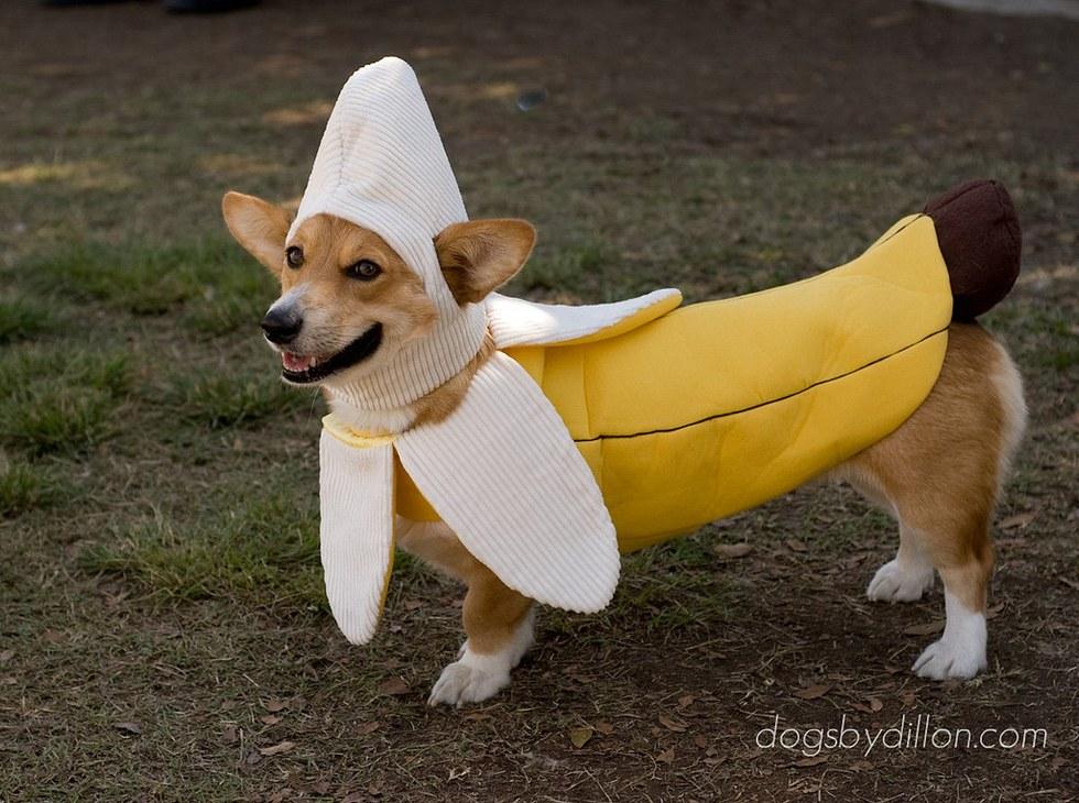Corgi Banana Split & Awesome Halloween Dog Costumes