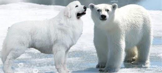 Russian Dog Looks Like Polar Bear