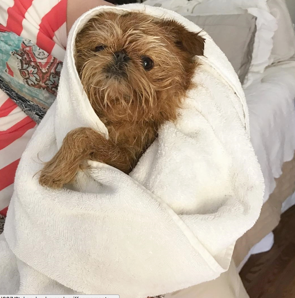 Things Only Brussels Griffon Owners Will Understand - 18 struggles every dog owners understands