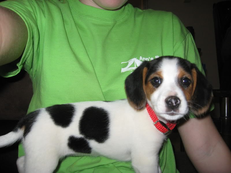 Fantastic Super Cute Beagle Adorable Dog - 980x  Best Photo Reference_646059  .jpg