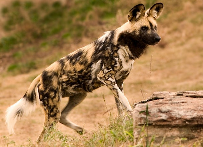 African Painted Dog Pet