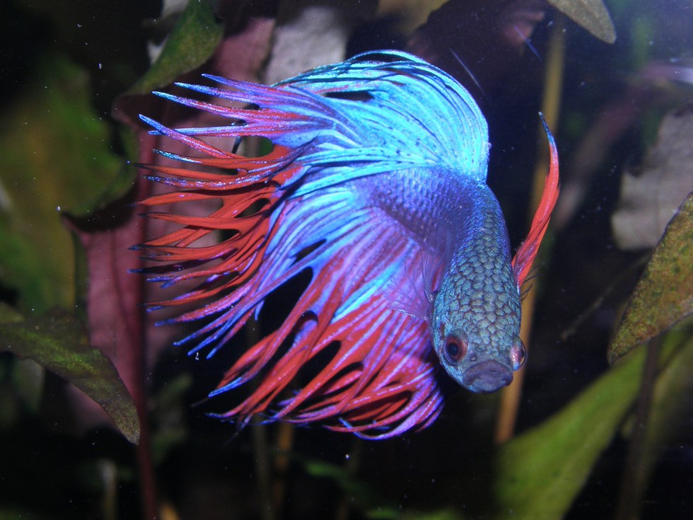 5 reasons why you need a betta fish for Big betta fish