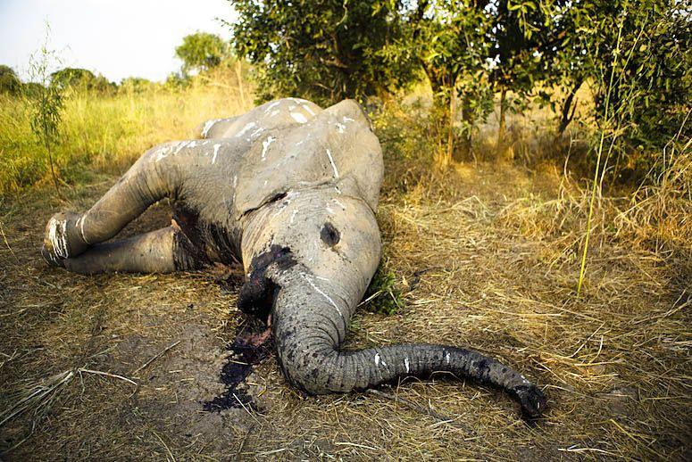 why do elephants have ivory tusks pdf