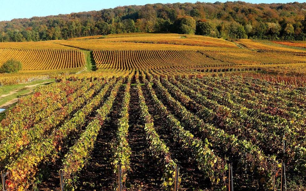 Reims Vineyard in France