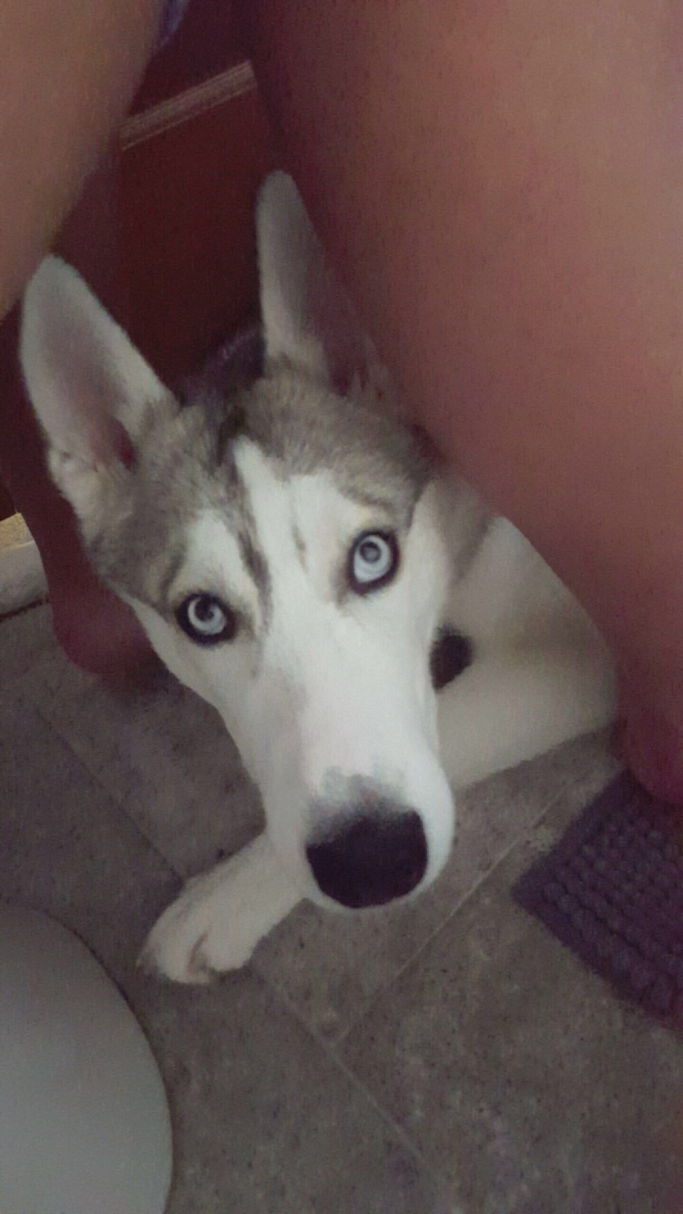 9 Signs You Re A Siberian Husky Owner