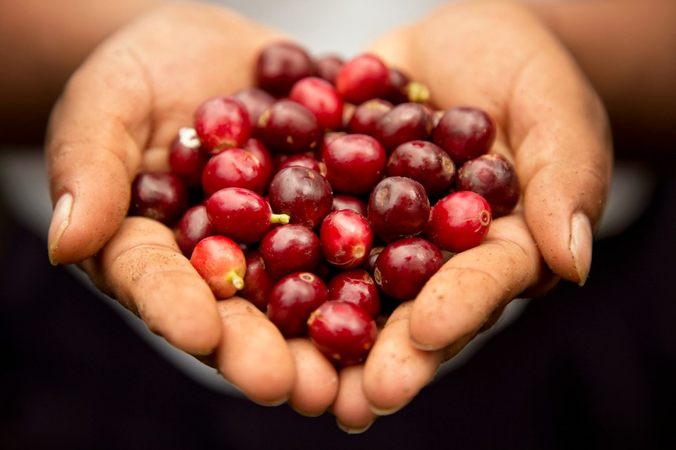 Coffee beans in a workers hands after being harvested from the fields.