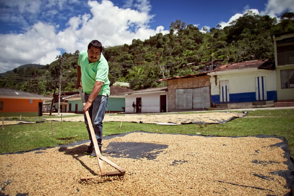 Worker drying the coffee in Colombia