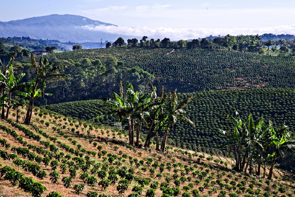 Landscape of the coffee fields in Colombia.