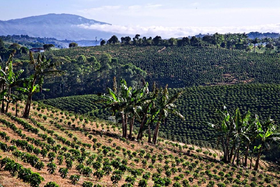 Landscape of the coffee fields in Colombia.