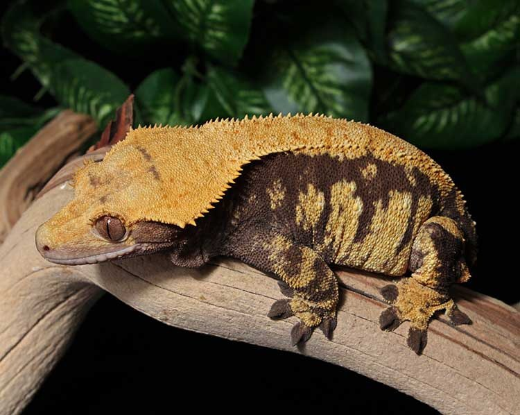 12 Reasons Why Crested Geckos Make Great Pets