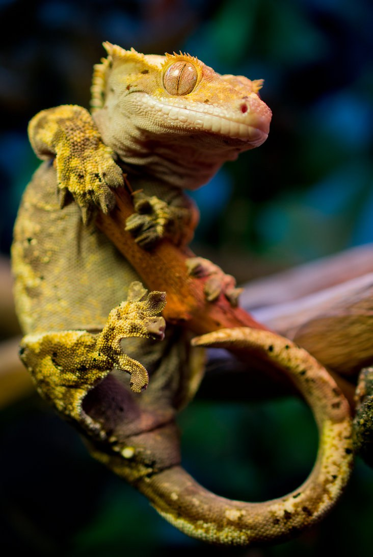 how to tell if your crested gecko is healthy