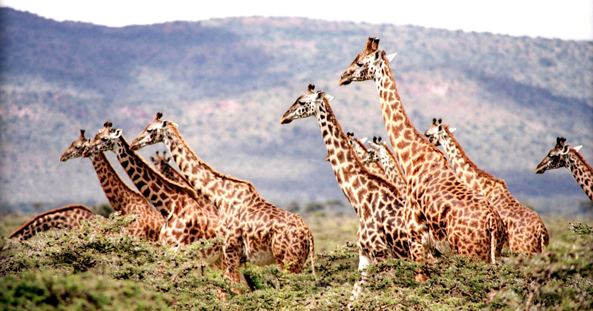 photo image Conservationists Sound Alarm on Plummeting Giraffe Numbers