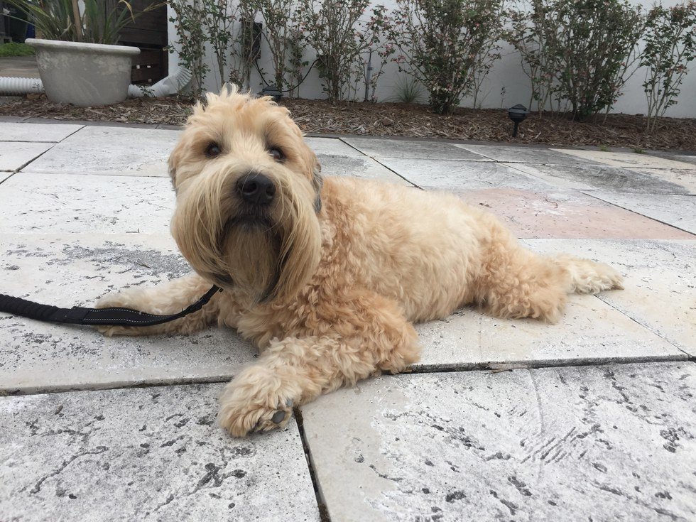 10 Reasons Soft Coated Wheaten Terriers Will Be Your New Bff
