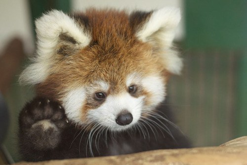 red pandas are cute fluffy and in danger