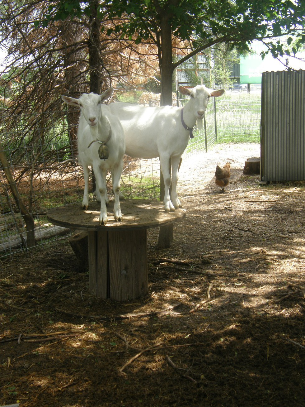 15 reasons why goats are awesome