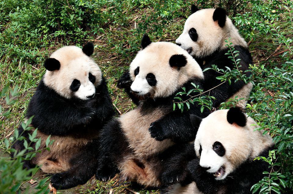 the giant panda a soon The giant panda is a conservation reliant vulnerable species a 2007 report showed 239 pandas living in captivity inside china and another 27 outside the country as of december 2014, 49 giant pandas lived in captivity outside china, living in 18 zoos in 13 different countries.