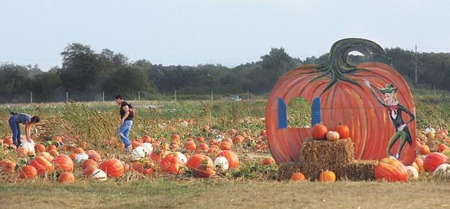 Pumpkin Picking In Riverhead Long Island