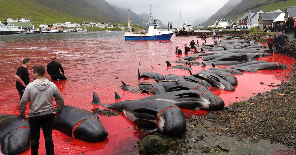 Hundreds of Whales and Dolphins Slaughtered in Annual Faroe Islands Hunt