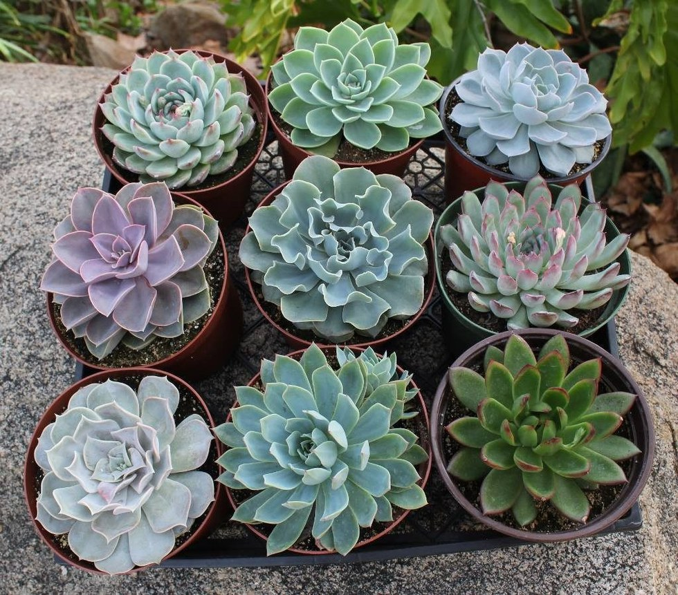Pretty indoor plants that are impossible to kill succulents come in so many different varieties which is part of what makes them so much fun succulents prefer lots of bright sunlight but can survive mightylinksfo
