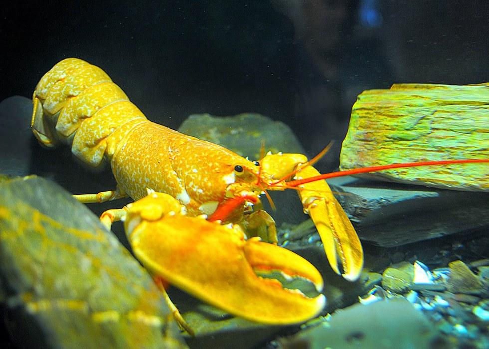 Amazing Animals #6 The Lobster — Steemit