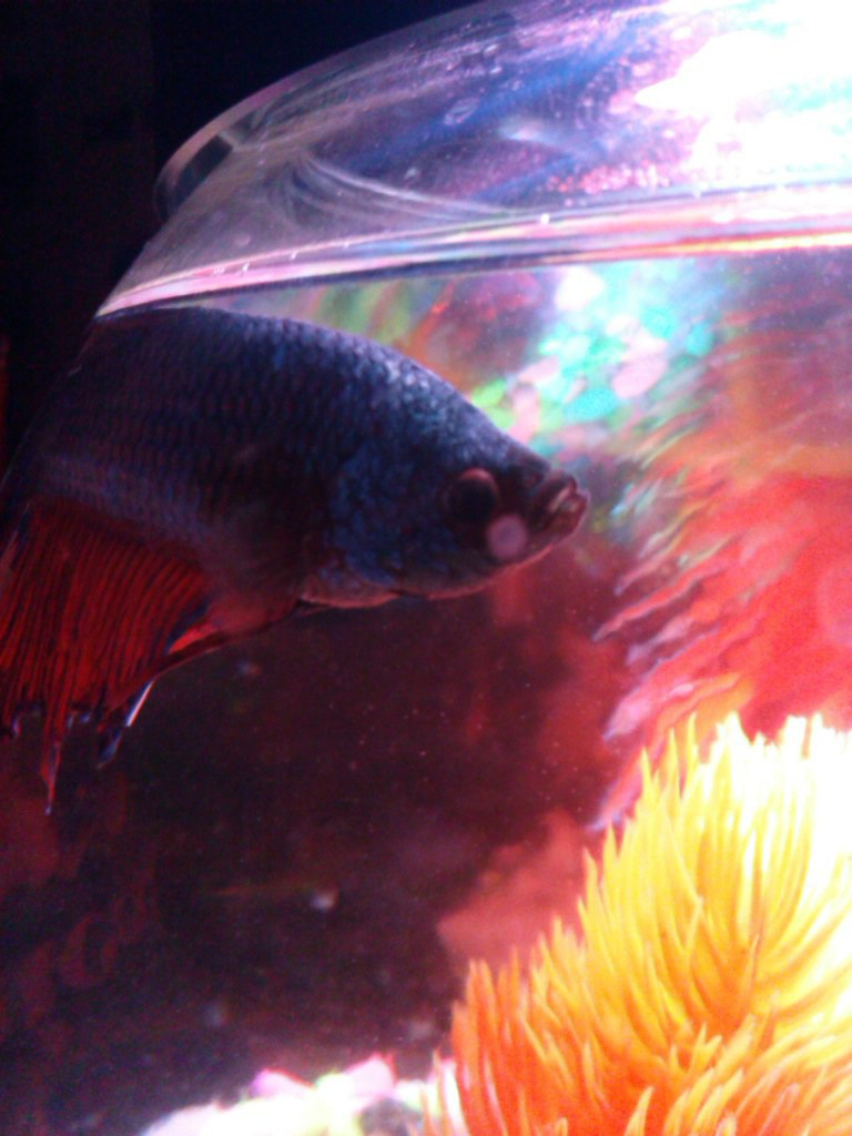 Want to get a pet why not a betta fish for Betta fish personality