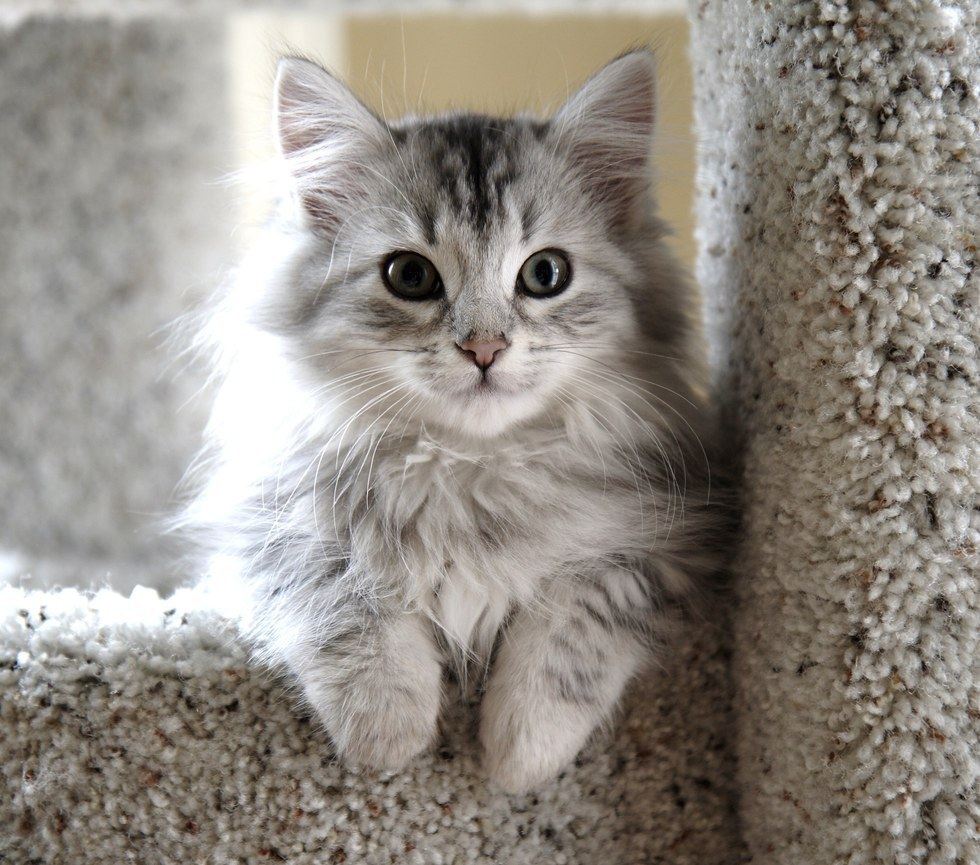 What kind of cat is better to choose, Scottish or British, what is their nature, character
