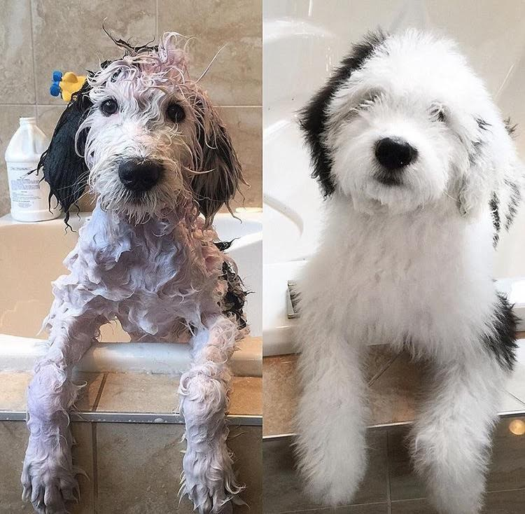 Old English Sheepdog Poodle Mix Puppies For Sale