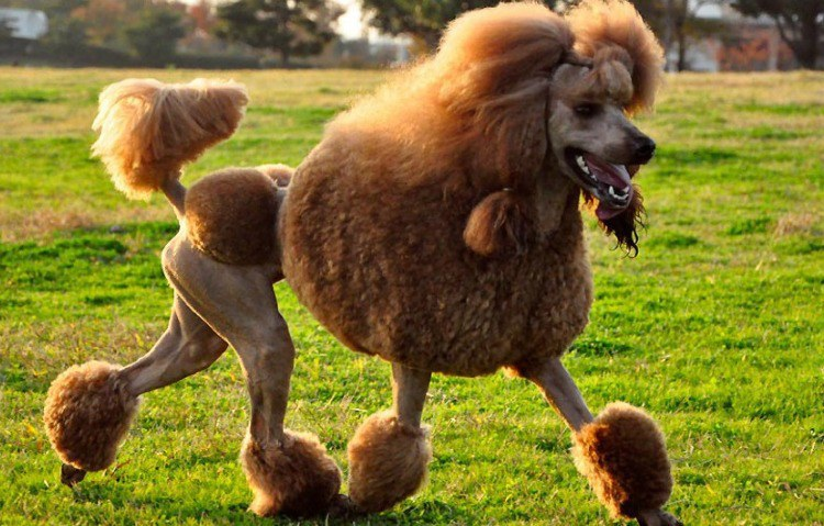 As Im Sure You All Know Poodles Are Notorious For Their Fluffy Pom Poms And Diva Ish Haircuts Poodle Crossbreeds Do Not Have To This
