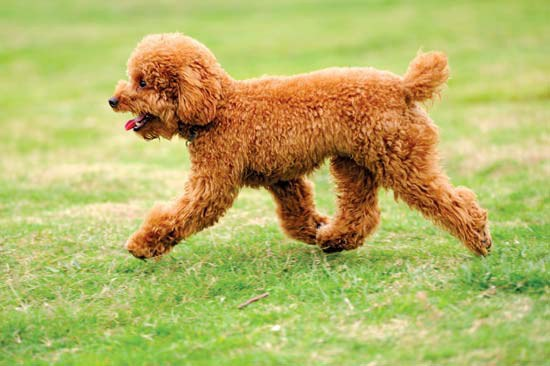 Poodles Make For Great Family Dogs And They Get Along Well With Other If Socialized Properly Are Definitely Outgoing Pups Who Love To Any