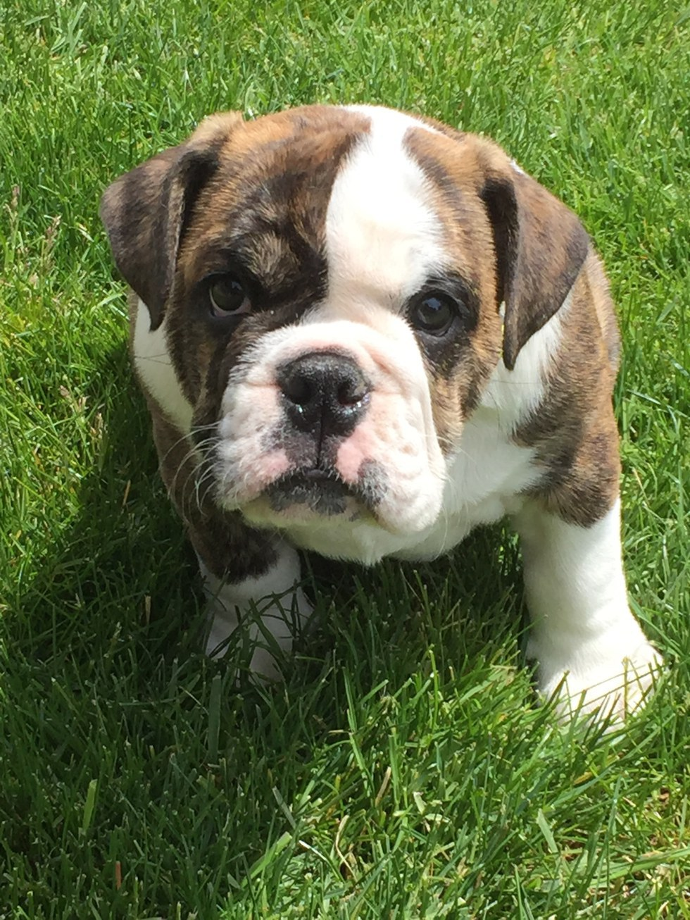 free english bulldog puppies what it s like to have two english bulldog puppies 4266