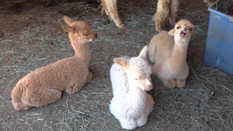 Alpacas Are The Next Alpha Animal