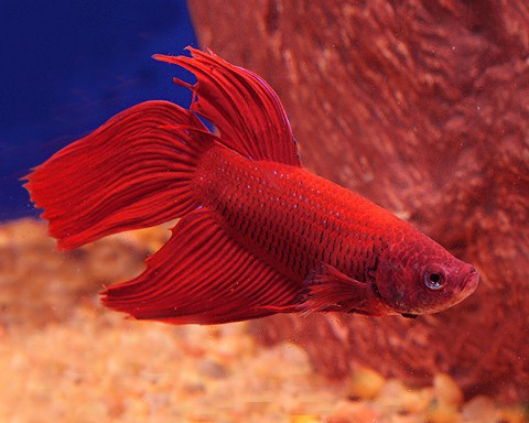 Celebrity names for your betta fish based on your horoscope for Good betta fish names
