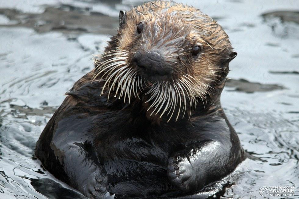 11 Reasons Why Sea Ott...