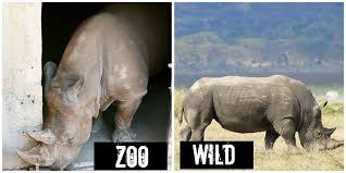 the truth about zoos Maybe these animals should be released in the wild there will be more space in the zoos for endangered animals then so what purpose are the zoos serving.