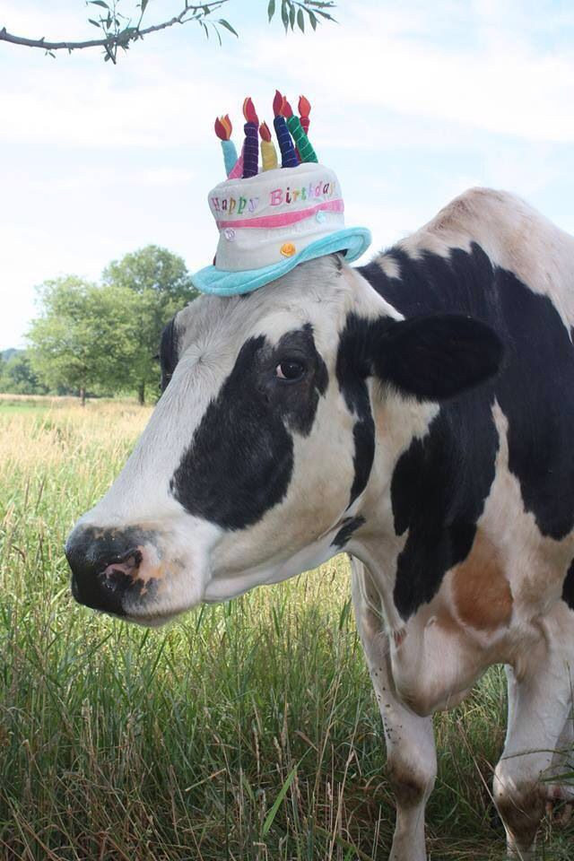 18 Cows Who Forgot How To Cow