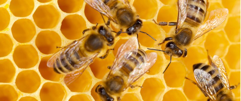 Bees Are Addicted To Caffeine