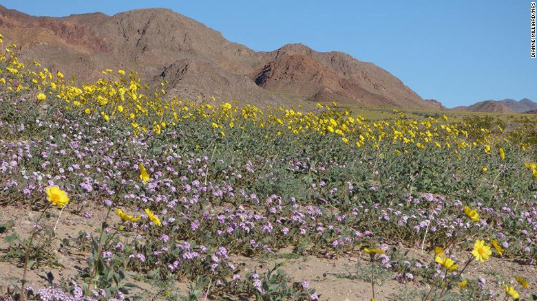 Resilience in death valley the wildflower superbloom i heard about the superbloom back when the flowers first really started to appear and after devouring all the beautiful photography i could of the mightylinksfo