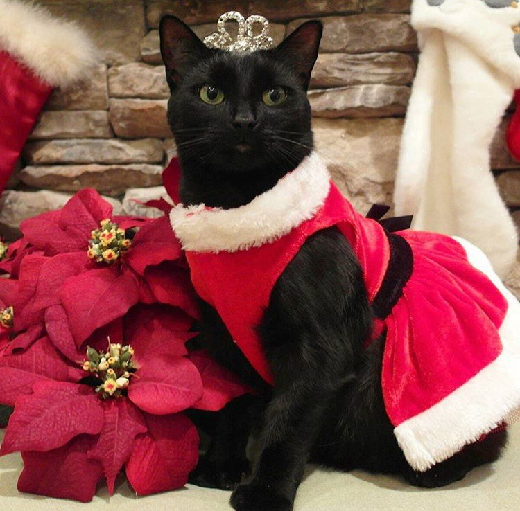 Sophie is obviously a Christmas princess, and we should be honored to be in  her presence. Don't even lie, you wish that was your tiara. - The 12 Cats Of Christmas