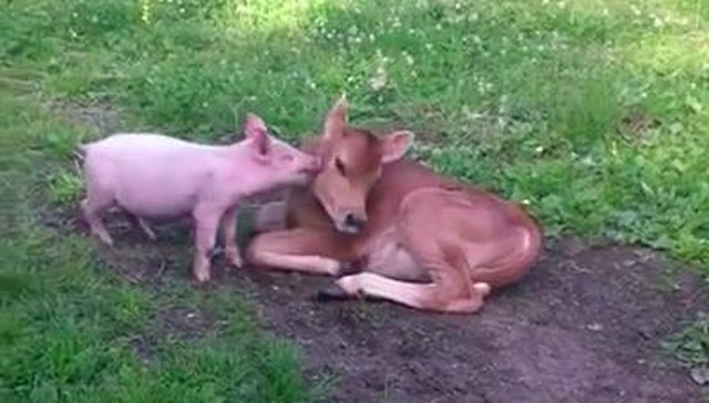 Calf And Piglet Spark Lifelong Friendship With Cutest