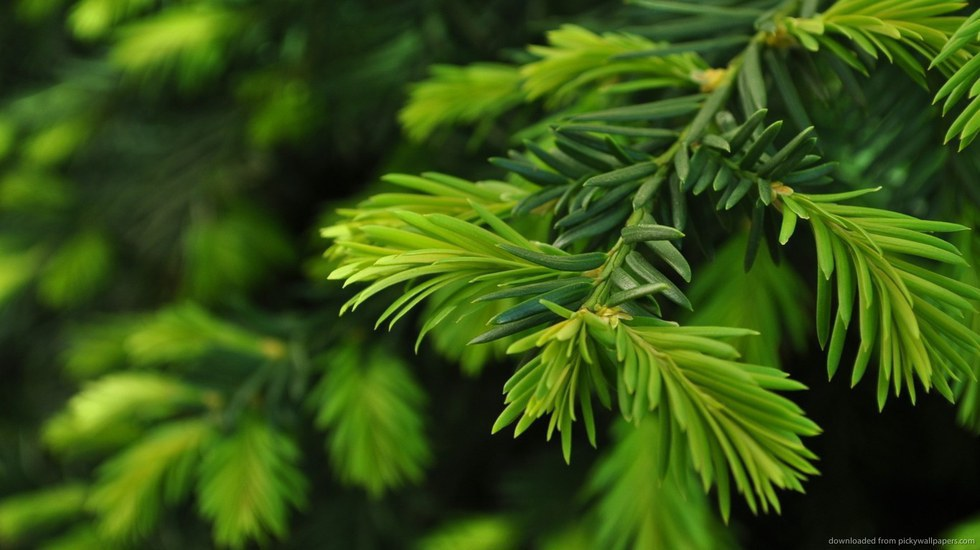 christmas trees an educated debate - Christmas Tree Smell